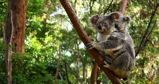 Meet Koala mother and baby during your next Australia vacations.
