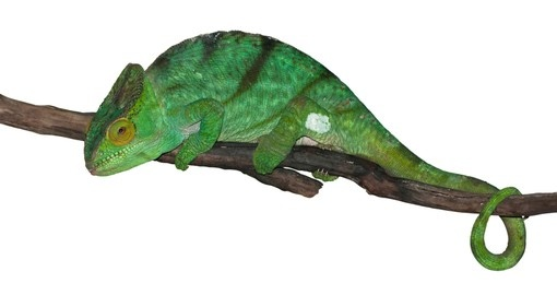 Green panther chameleon
