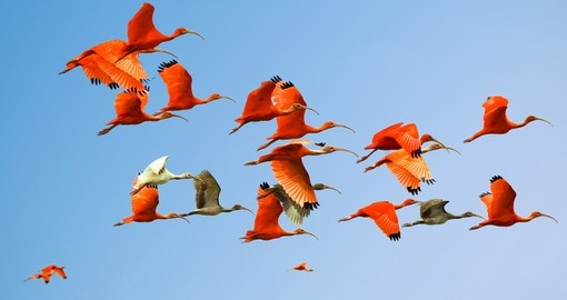 Flock of scarlet and white ibises in flight