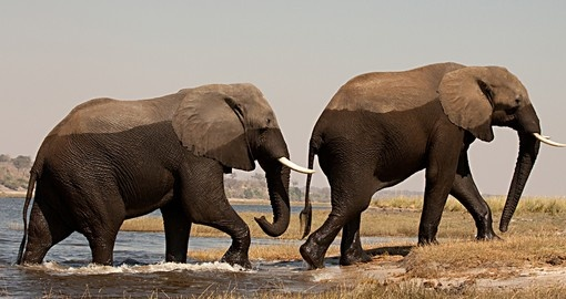 Two male elephants in Chobe National Park_