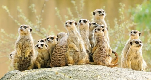 A group of Meerkats in Africa