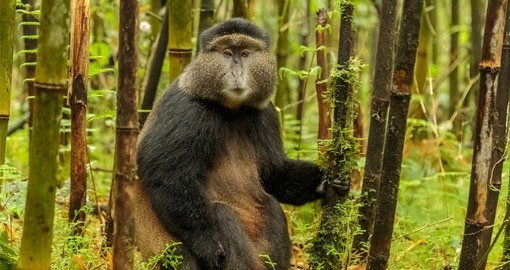 Change upon a Rwandan Golden Monkey during your Rwanda Safari