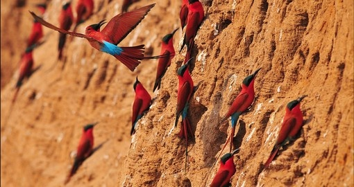 Southern Carmine Bee-eater dancing in the air