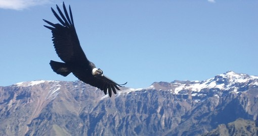 The Majestic Condor in the Colca Canyon