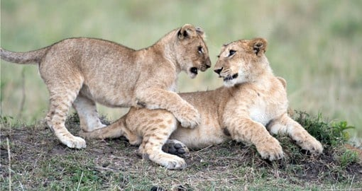 Masai Mara  is renown for abundant populations of The Big 5 alongside the migratory wildebeest