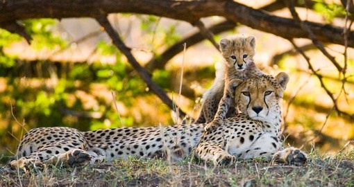 A cheetah and her cub in the Serengeti National Park  - Tanzania