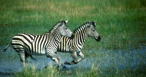 Plains Zebra running in water is always a popular photo opportunity while on your Linyanti Wildlife Reserve Safari