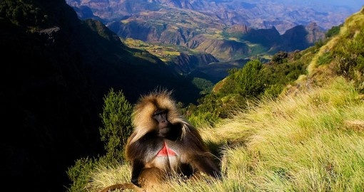 A Gelada baboon sitting on top of the cliff in the Semien Mountains makes for an interesting photo opportunity while on your Ethiopia vacation.