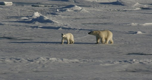 The polar bear that resides in the Arctic is a sight that would amaze anyone on their Arctic Vacation