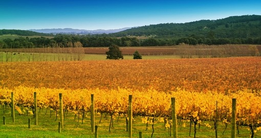 Explore the golden Yarra Valley Vineyard in the Autumn during your next Australia vacations.