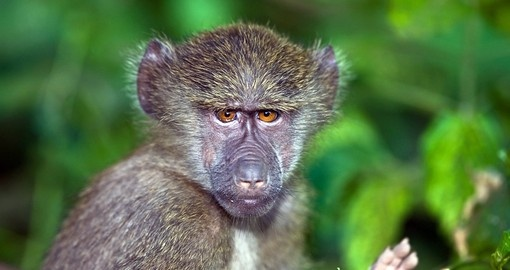 A young baboon in the forest near Lake Manara National Park is a great photo opportunity while on your Tanzania safari.