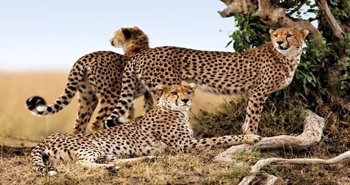 Discover Cheetahs while their busy with their life in Masai Mara on your next Kenya vacations.