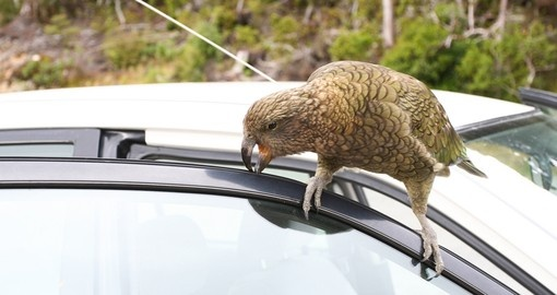 Kea - NZ Mountain Parrot