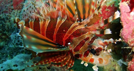 Discover Red Lion fish in Borneo on your next trip to Malaysia.