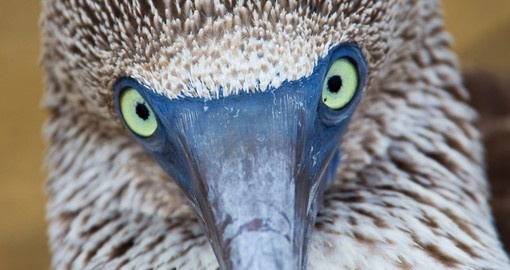 Blue Footed Booby - the Galapagos Islands, Ecuador