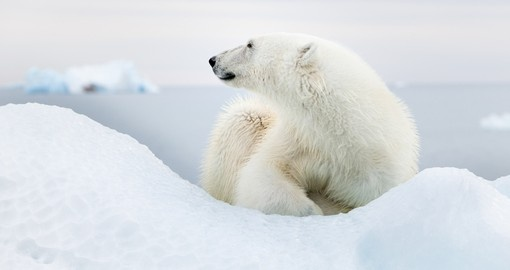 The elusive polar bear is a hard find but once you do encounter one it will make your Arctic Vacation a memorable one
