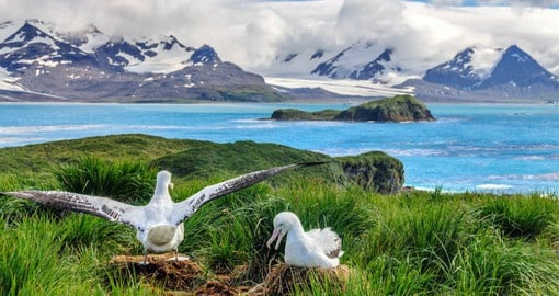 The wandering albatross, with the largest wingspan of any bird on earth, visits South Georgia to breed