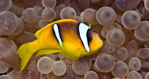 Bubble anemone and fish