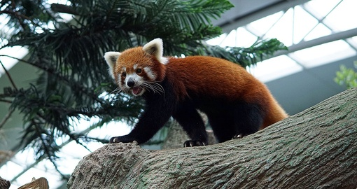 Red Panda at the Singapore View
