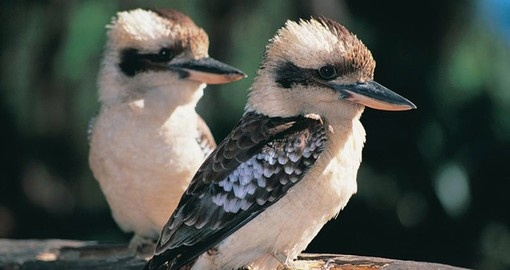 "Kookaburras are famous for their ""laugh"" and you are sure to hear them laughing on Australia vacations."