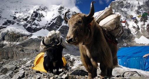 Yaks carrying supplies to Mt. Everest base camp
