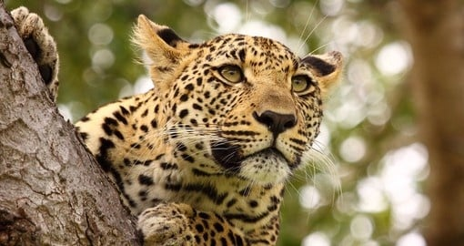 A Leopard high up in tree is a great sight to see on all South Africa tours.