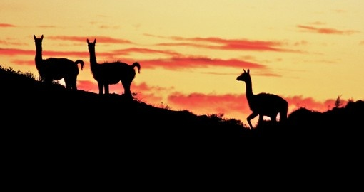Guanacos at sunset