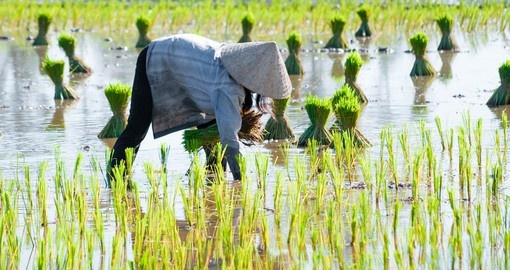 Growing rice in the Delta