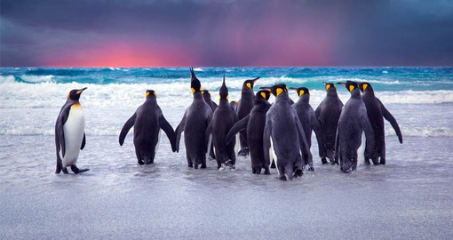King penguins are the largest and most beautiful to be found on the Falkland Islands