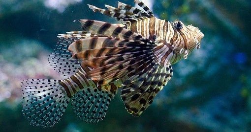 Lionfish on the Great Barrier Reef