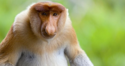 Appreciate the vast variety of monkeys and other animals in the Borneo Forests on one of your Malaysia Tours