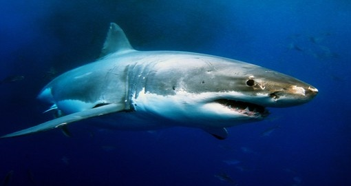 Swim with the Great White Sharks during your Australia trip!