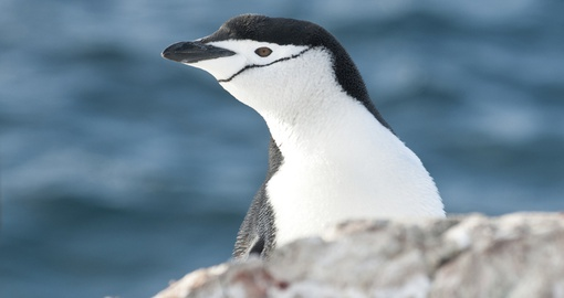 A curious chinstrap penguin