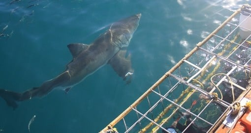 Experience diving to see Great White Shark during your next South Africa safari.