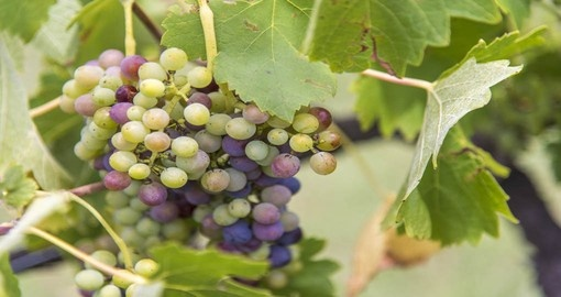Semillon and Shiraz are widely planted in the Hunter Valley, Australia.