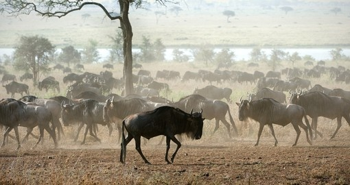 The herd of migrating antelopes goes on dusty savanna