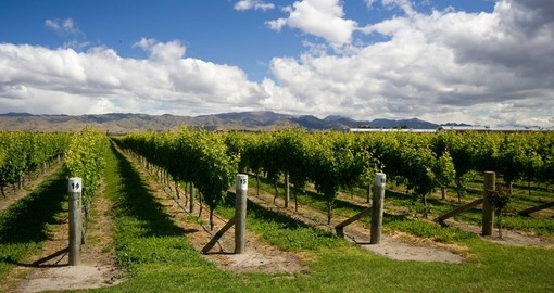 Rows of grape vines near Blenheim