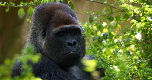 Gorilla in Bwindi Impenetrable Forest