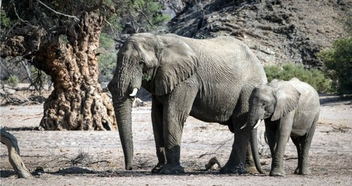 The Desert Elephant are a highlight of your Namibia Safari