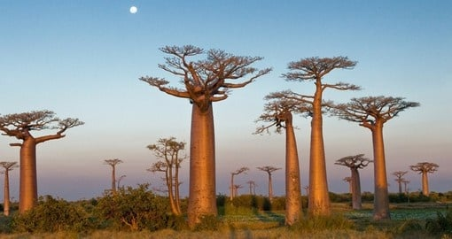 Baobab trees in Morondava - a popular spot to visit on all Madagascar vacations.