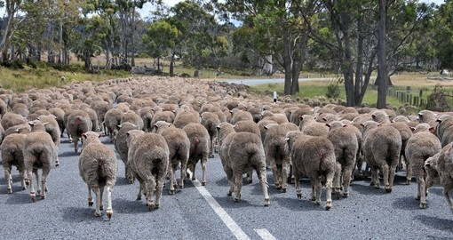 Sheep Traffic in Tasmania