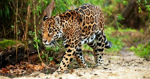Jaguar walking in the jungle