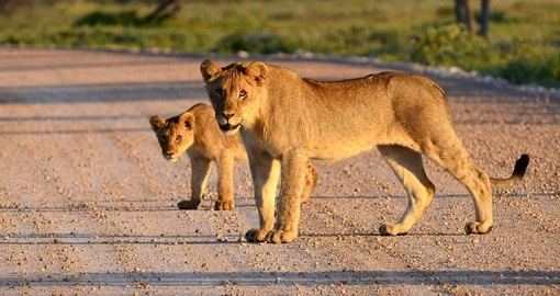 Lioness With cub on the road, Amboseli National Park
