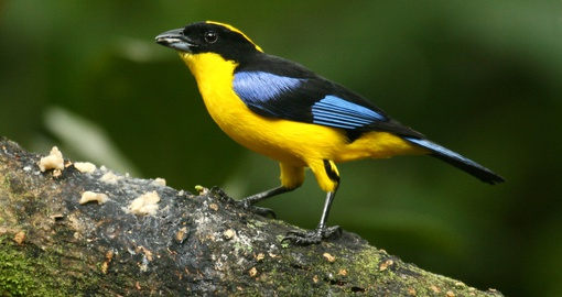 Blue-winged mountain tanager, one the thousands of bird species found in the Amazon