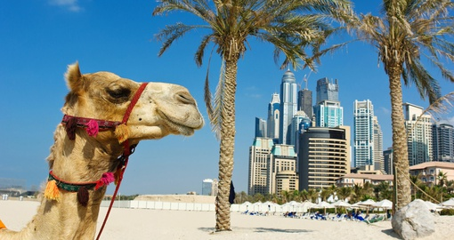 Camel catching some rays on a beach in Dubai