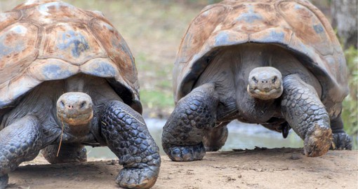 The largest living species of tortoise, Galápagos tortoises have a lifespan of over 100 years