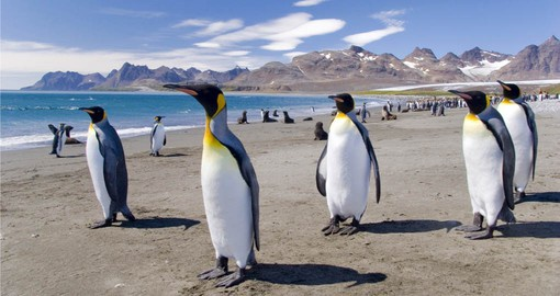 Experience King Penguins in their natural habitat on your Falkland Islands tour