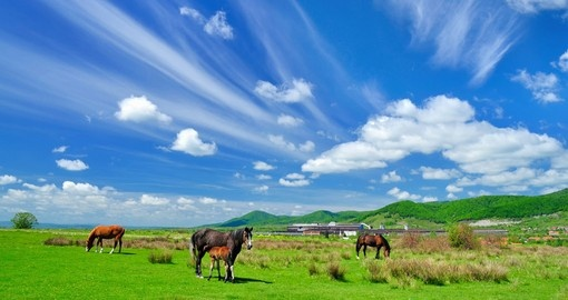 Gazing horses in the countryside