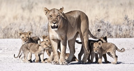 A lioness and her cubs as seen on a Mana Pools National Park safari.