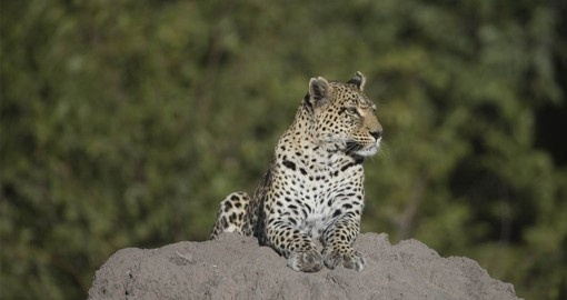 See Leopards and other members of the Big 5 on your Botswana Safari